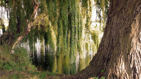 Willows by water. Willow tree overhanging a river reflected in the water in late summer Royalty Free Stock Photography