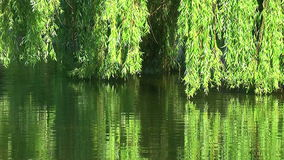 Willows on water stock video footage
