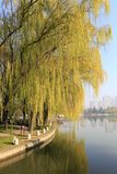 Willows at waterfront of datangfurongyuan park, adobe rgb. Willows by the water`s shore of datang furong garden, xian city, shaanxi province, china. this is a Royalty Free Stock Photography