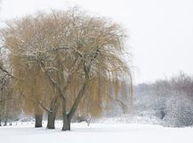 Willows in winter Stock Photography