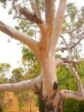 Willunga Eucalypt. Photo taken at historic Willunga featuring the white trunk of an Australian Eucalypt tree royalty free stock image
