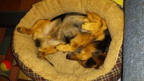 Willy Dog-de slaap van slaapbaddog Royalty-vrije Stock Afbeeldingen