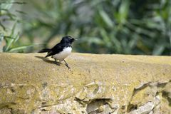 Willy Wagtail Photo stock