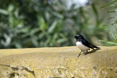 Willy Wagtail Photographie stock libre de droits