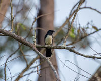 Willy Wagtail Image stock