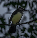 Willy Wagtail Photographie stock