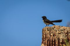 Willy Wagtail Stock Photos