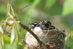 Willy Wagtail Birds in Nest. The Willie Wagtail is the largest, and most well-known, of the Australian fantails. The plumage is black above with a white belly stock image
