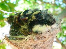 Willy Wagtail Birds in Nest. The Willie Wagtail is the largest, and most well-known, of the Australian fantails. The plumage is black above with a white belly stock images
