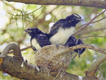 Willy wagtail Royalty Free Stock Photography