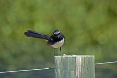Willy wagtail on a post Stock Image