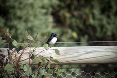Willy wagtail on a post Royalty Free Stock Images