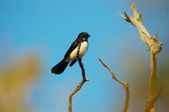 Willy wagtail (Rhipidura leucophris) Stock Photography