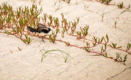 Willy wagtail ruffling feathers. A small black and white bird, the willy wagtail ruffling his feathers on sand dunes at the beach Royalty Free Stock Image