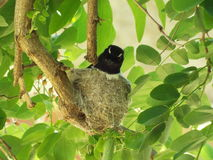 Willy wagtail. Sitting on a nest Royalty Free Stock Image