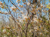 Wilmont creek blossoms. Spring blossoms on wilmont creek Stock Images