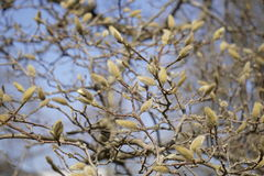 Wilow catkin Royalty Free Stock Images
