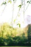 Wilow tree Royalty Free Stock Photo