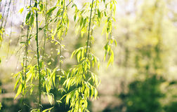 Wilow trees. Willow trees  against  blurred background Royalty Free Stock Image