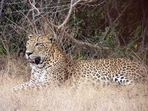 wilpattu sri леопарда lanka 8 Стоковое Изображение