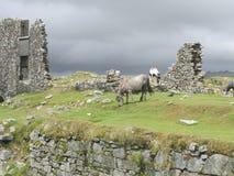Wils Pferde auf verankert von Dartmoor Stockfotografie