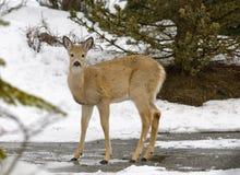 Wilslife d'hiver Photos libres de droits