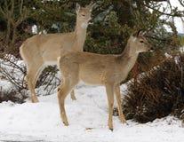 Wilslife del invierno Foto de archivo libre de regalías