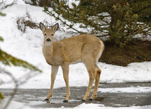Wilslife do inverno Fotos de Stock Royalty Free