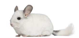 Wilson Chinchilla, 12 months old Royalty Free Stock Photos