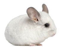 Wilson Chinchilla, 12 months old Royalty Free Stock Images