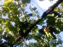 Wilson Creek Winery & vigne Fotografia Stock Libera da Diritti