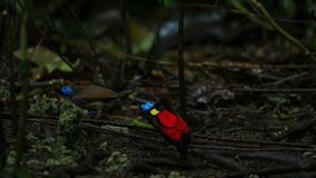 Wilson`s bird of paradise competing to attract a female by dancing in the gloom of the forest floor stock photo