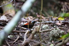 Wilson's Bird-of-paradise Royalty Free Stock Photography