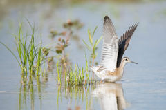 Wilson`s Phalarope Taking Flight Stock Image