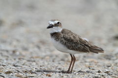 Wilson's Plover Stock Photos