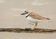 Free Wilson S Plover Royalty Free Stock Photography - 56159237