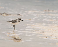 Wilson's Plover feeds on the beach in Mexico Stock Images