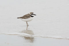 Wilson's Plover Wading in Shallow Water Stock Photo