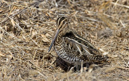 Wilson's Snipe Stock Photography