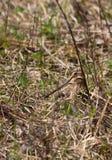 Wilson`s Snipe bird Royalty Free Stock Photo