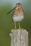 Wilson's Snipe Royalty Free Stock Photography