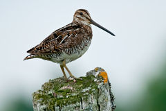 Wilson's Snipe Royalty Free Stock Image