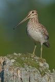 Wilson's Snipe Royalty Free Stock Photo
