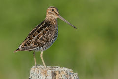 Wilson's Snipe Royalty Free Stock Images