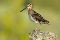 Wilson's Snipe Royalty Free Stock Photos