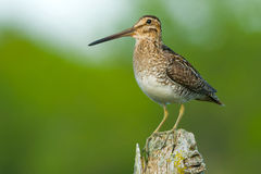 Wilson's Snipe Stock Photo