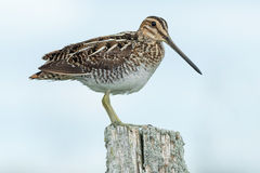 Wilson's Snipe Stock Images