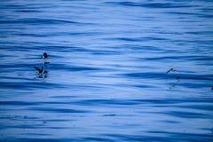 Water runners - Wilson`s Storm-Petrel birds stock photography