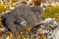Wilson's storm petrels chick that sits on the moss Antarctic isl Royalty Free Stock Images