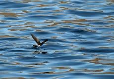 Wilson \ 's-Sturmschwalbe; Wilson \ 's Stormvogeltje; Oceanites ozeanisch lizenzfreie stockfotos